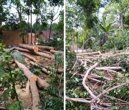 Perombakan Pohon Yang Dianggap Membahayakan Di Pencit Rejo